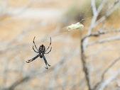 Spider Araneidae — Stock Photo