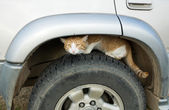 Cat on car weal — Stock Photo