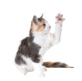 Three-colored cat with one paw raised — Stock Photo