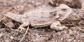 Desert horned lizard — Stock Photo