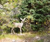 Baby mule deer — Stock Photo