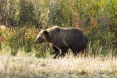 Grizzly bear — Photo