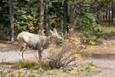 Young mule deer — Stock Photo