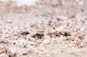 Woestijn horned lizard — Stockfoto