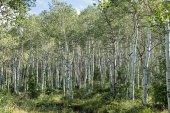 Quaking aspen grove — Stock Photo