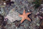 Ochre Sea Star — Stock Photo