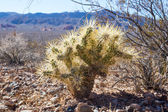 Cylindropuntia acanthocarpa — Stock Photo