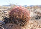 Barrel cactus blank inside — Stock Photo