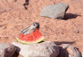 White-tailed  Antelope Squirrels — Stock Photo