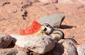 White-tailed  Antelope Squirrels  (Ammospermophilus leucurus)  d — Photo