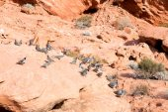 Gambel's quail on the rocks — Stockfoto