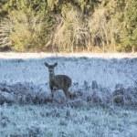 Mule deer in California — Stock Photo #67233371