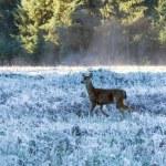Mule deer in California — Stock Photo #67233395