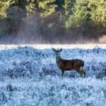 Mule deer in California — Stock Photo #67233399