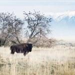 "Bison in Utah, Park ""Antelope Island"" — Stock Photo #67233647"