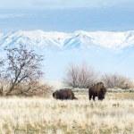 Buffalo in Utah State Park — Stock Photo #67233659