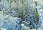 Coyote in winter in Utah — Stock Photo