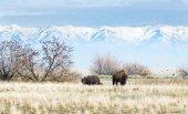 Buffalo in Utah State Park — Stock Photo