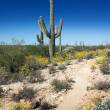 Blooming Sonoran Desert in Arizona — Stock Photo #71175801