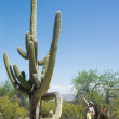 Child and father looking at huge cactus — Stock Photo #71175875