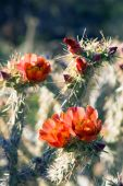 Flowering plant Staghorn Cholla — Stock Photo