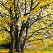 Tree in vibrant autumnal colors — Stock Photo #55627391