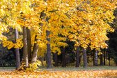 árvores de outono maple — Foto Stock