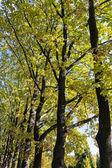 Autumn oak trees — Stock Photo
