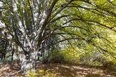 Old basswood tree in autumn park — Stock Photo