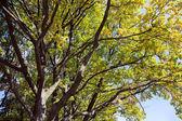 Old oak tree in autumn — Stock Photo