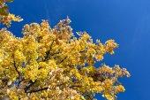 Autumnal yellow foliage against blue sky — Stock Photo