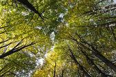 Autumn tree canopy — Stock Photo