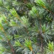 Fir tree branch background — Stock Photo #57242253