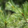 Fresh green fir tree branch close up — Stock Photo #57242319