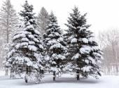 Fir-trees under snow — Stock Photo