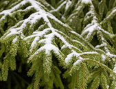 Winter fir tree branches with snow — Foto Stock