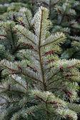 Pobočka vánoční stromeček — Stock fotografie