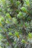 Jedle stromu větev pozadí — Stock fotografie