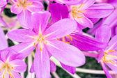 Crocus flower head top view — Stock Photo