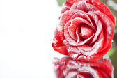 Frozen red rose in white frost lying on mirror. Shallow DOF — Stock Photo