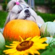 Shih tzu dog — Stock Photo #55282019