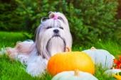 Shih tzu dog — Stock Photo