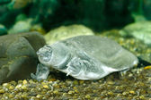 Chinese softshell turtle — Foto Stock