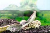 Amphibian exotic animal Chelidae in wateru — Stock Photo