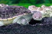 Amphibian exotic animal Chelidae in water — Stock Photo