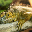 iguanas who sleeps on a thick branch — Stock Photo #68554473