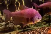 Beautiful aquarium fish black pacu — Stock Photo