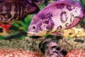 Beautiful aquarium fish Astronotusa — Stock Photo