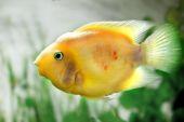 Piękne akwarium ryba Pielęgnica cytrynowa — Zdjęcie stockowe