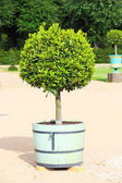 Small topiary tree in the pot — Stock Photo